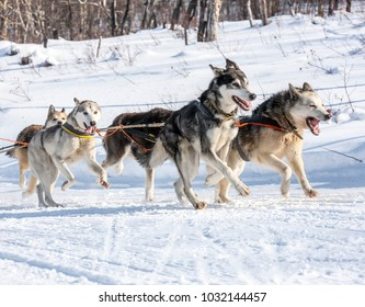 Husky dogs are pulling sledge at sunny winter forest in Kamchatka, Russia