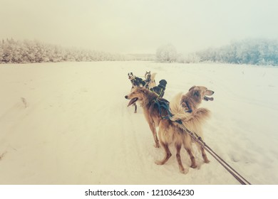 Husky dogs are pulling sledge at winter forest in Murmansk, Russia.