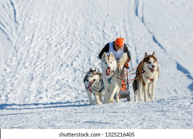 Husky dogs run uphill