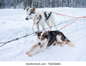 Husky dogs in sledding while break for rest at winter forest in Rovaniemi, Lapland, Northern Finland