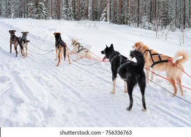 Husky dogs in sledding in winter forest in Rovaniemi, Lapland, Northern Finland