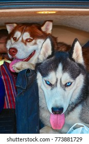 Husky dogs in the trunk.  Siberian husky look out of the trunk of the car.