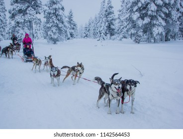Husky dogs waiting for their run outdoors in the snow of winter to transport people within slides to their destination. It is hard work for them, but they love the teamwork and the excercise runs