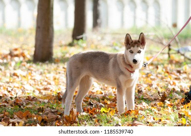 husky four month puppy