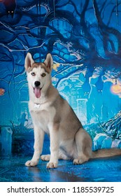 husky four month puppy on dark blue holiday background