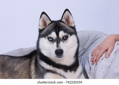 Husky in front of a lying woman with light background