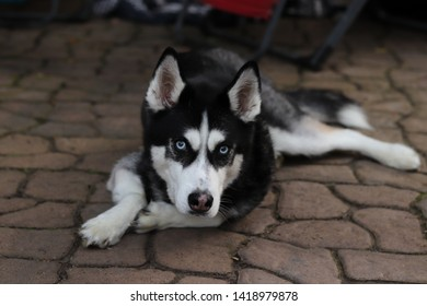 Husky god relaxing on patio pavers
