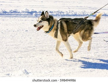 Husky in harness at competitions skijoring in Kamchatka.
