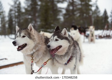 husky in harness on snow in winter, Lapland, Finland