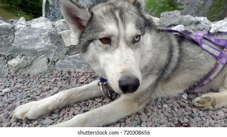 Husky with heterochromia