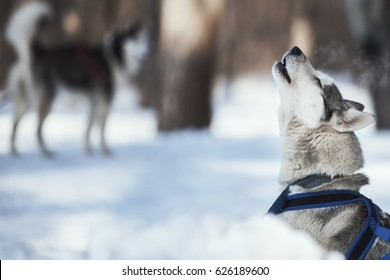 500 Siberian Husky Howling Pictures Royalty Free Images Stock
