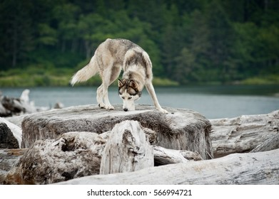 husky jumping over logs in Mora Beach, Olympic National Park, Washington State, USA