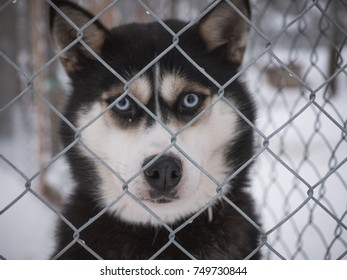 Husky looking through a fence