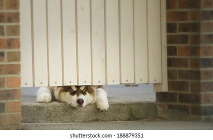 Husky peeking out from under the gate
