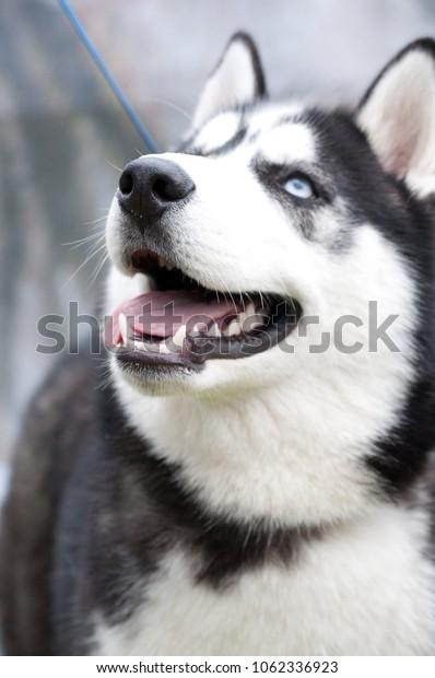 husky portrait close