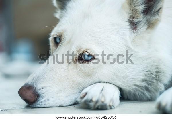 Husky portrait, close up