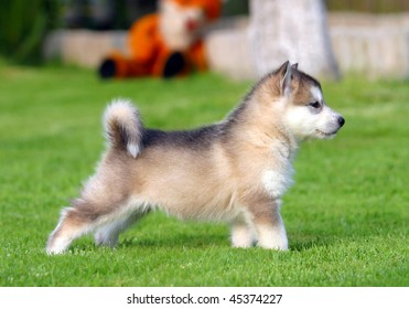 Husky puppet on the grass