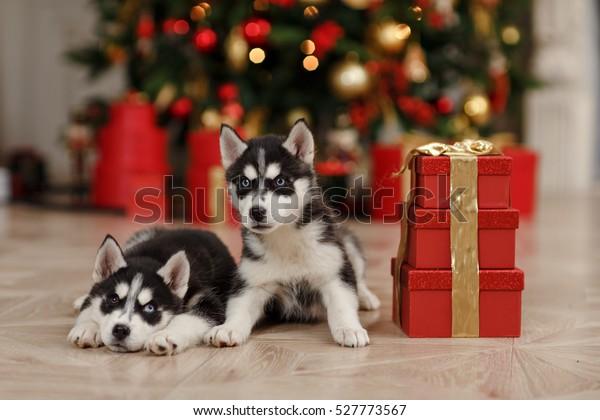 Husky Christmas Puppy.Husky Puppies Black White Christmas Trees Stock Photo Edit
