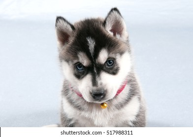 Husky puppy black white fur
