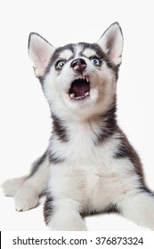 Husky puppy with different eyes funny face contorts - bewilderment and surprise