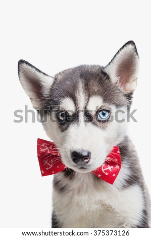 Husky Puppy Different Eyes Red Bow Stock Photo Edit Now 375373126