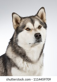 Husky puppy dog portrait. Image taken in a studio with white background.