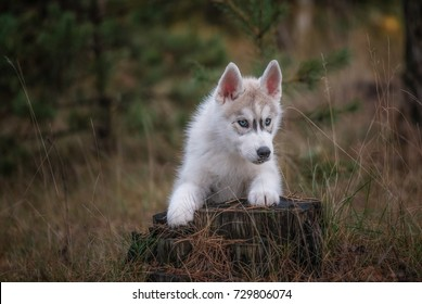 husky puppy in the forest