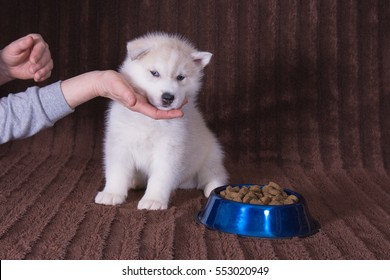 Husky puppy in front of food bowl with female hand