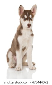Husky puppy isolated on white