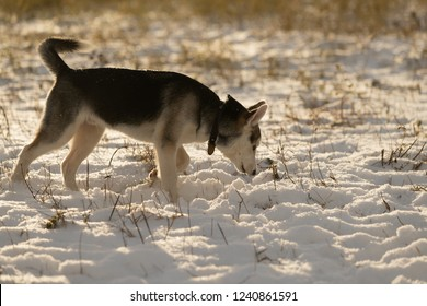 Husky puppy on a walk in a snowy field, sunlight