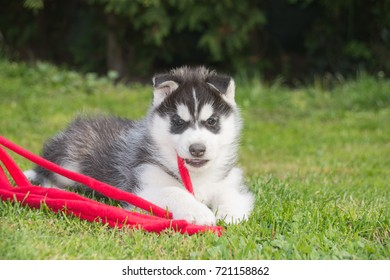 Husky puppy playing with red ribbon