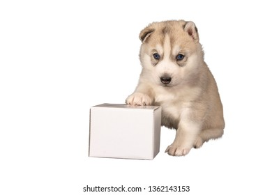 Husky puppy sits with ad space in front of white background