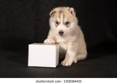 Husky puppy sits with billboard cardboard box against black background
