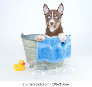 Husky puppy sitting in a tub with bubbles and a rubber ducky ready for his bath.
