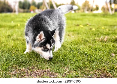 The husky puppy sniffing the grass