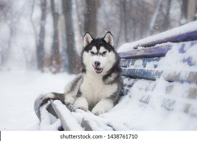 husky puppy in winter day