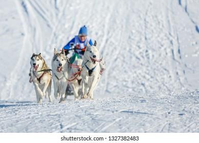 Husky racing dogs climb the hill