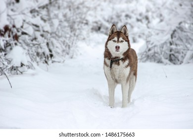 Husky red color in a snowy forest for a walk