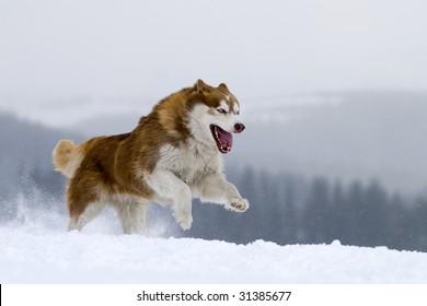 Husky running , showing big sharp teeth.
