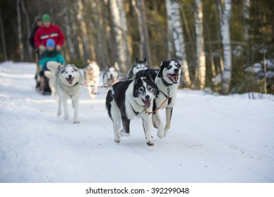 Husky safari in action. The dogs are pulling the sledge with full speed. Unidentified person are steering and sitting in the sledge.