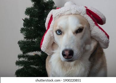 Husky With Santa Hat And Christmas Tree