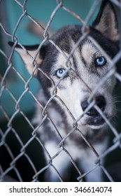 A husky in the shelter