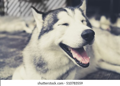 Husky Siberian dog happily laughing and smiling outside in vintage tone