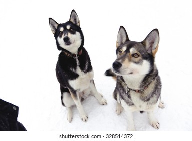 Husky sitting on snow in winter