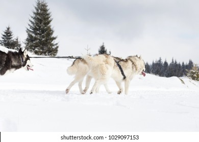 Husky sled competition