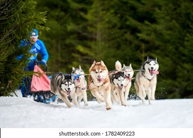 Husky sled dog racing. Winter dog sport sled team competition. Siberian husky dogs pull sled with musher. Active running on snowy cross country track road