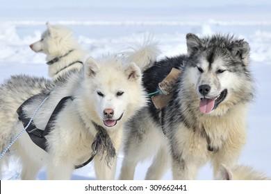 Husky sled dogs portrait on the sea ice, Baffin bay, Nunavut, Canada.