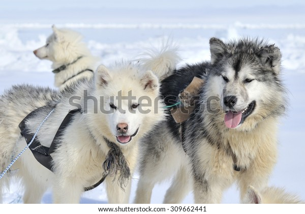 Husky sled dogs portrait on the sea ice, Baffin bay, Nunavut, Canada.