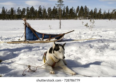 Husky sleeping sled dog. Drevdalen, Dalarna, Sweden.