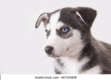Husky Welpe I